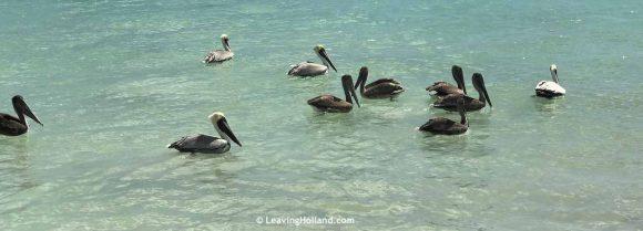 Pelicans Caribbean Sea